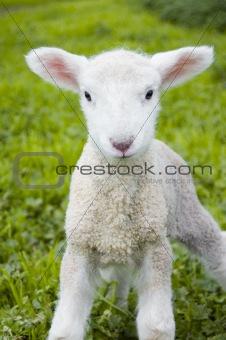 Soft Lamb