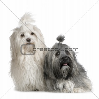 pair of Havanese dog