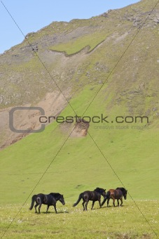 Three Icelandic horses walking through a field full of flax