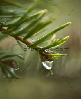 A dewdrop is falling from a pine branch