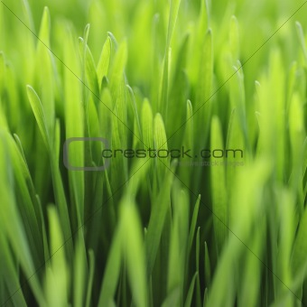 Blades of grass shown close up