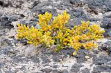 Succulent plant on lava ground, Fuerteventura