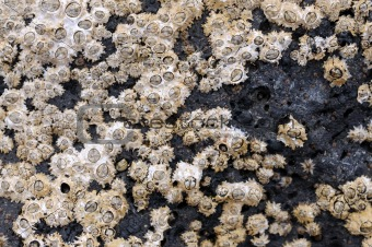Fossilized shells on the coast of Fuerteventura, Spain