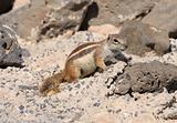 Gopher on Canary Island Fuerteventura