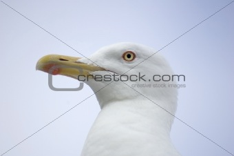 Andry Seagull