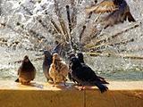 Pigeons gang