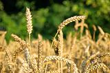 Natural background with wheat
