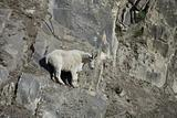 Billy Mountain Goat looking down from a cliff