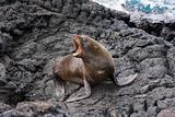 Sea lion barking on the Galapagos Islands