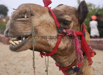 Camel in desert Oasis India