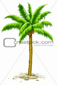 palm tree with coconut fruits