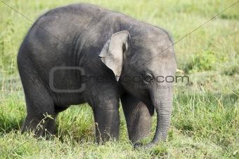 baby elephant in sri lanka