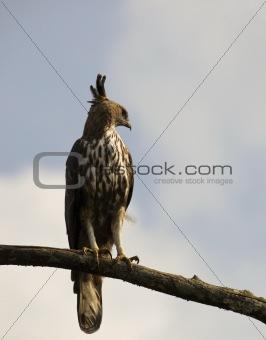 changeable hawk eagle in sri lanka