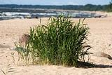 Seagrass in sandy beach