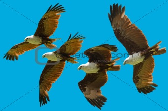 brahminy kite flying sequence