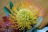 protea