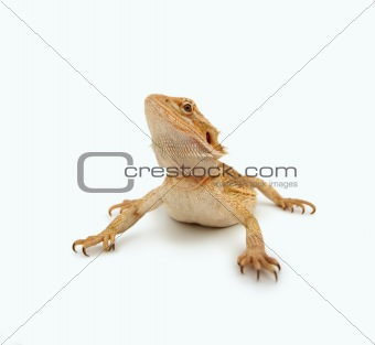 A bearded dragon with long tail looking away