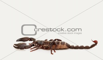 Black emperor scorpion isolated over white