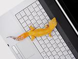 Leopard gecko crawling on a laptop