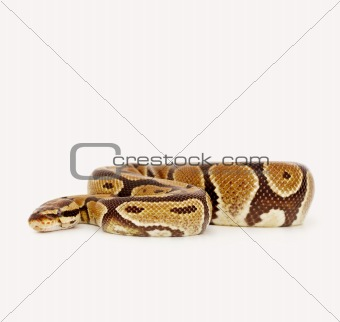 A scary python crawling over white