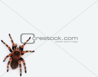 Poisonous tarantula isolated over white