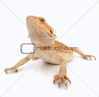 Image of a bearded dragon crawling