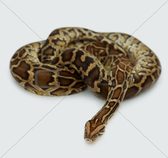 Reticulated Python on white