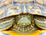 Yellow bellied slider peeping out of the shell