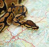 Ball python placed over a map