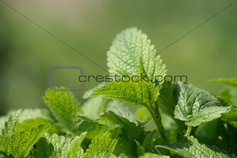 green mint background