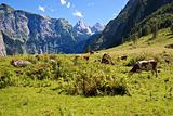 View from the Koenigssee towards the alps, with cows