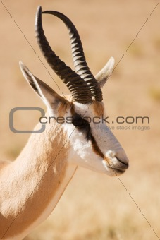 Closeup portrait of a Springbok gazelle