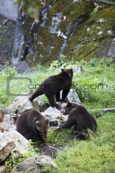 Three bears at a zoo