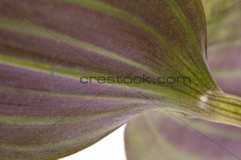 houseplant. linear leaf