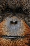 old male orangutan closeup