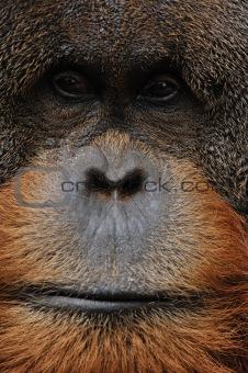 old male orangutan closeup