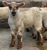 Pretty Lamb