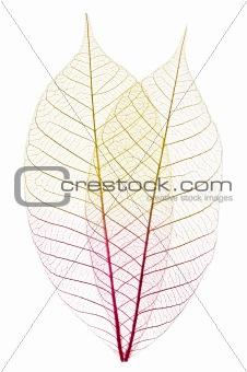 Skeleton leaves