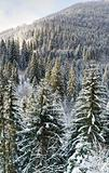 winter forest mountainside