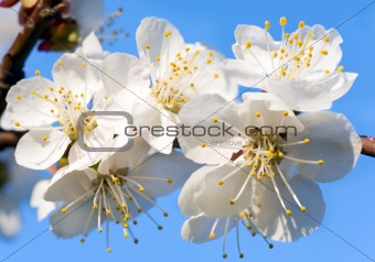 Blossoming cherry-tree twig