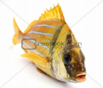Gold fresh fish