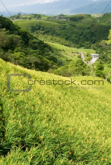 beautiful tiger lily farm