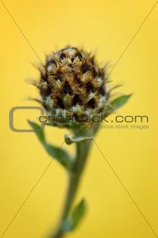 Knapweed plant
