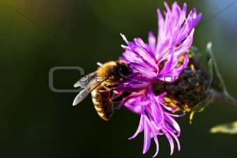 Honey bee on Knapweed