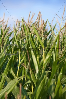 close up of gren corn plants with blue sky