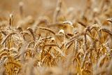 close up of rye in a field ready for harvest