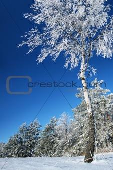 A birch is in a hoarfrost