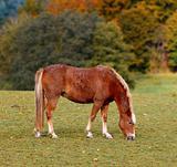 Danish horse