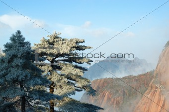 Pine Trees and Sea of Clouds
