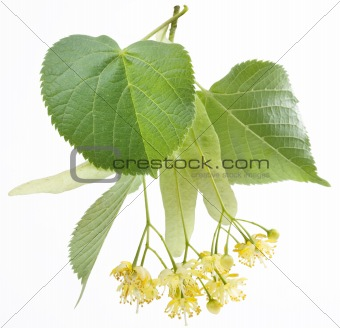 Flowers of linden